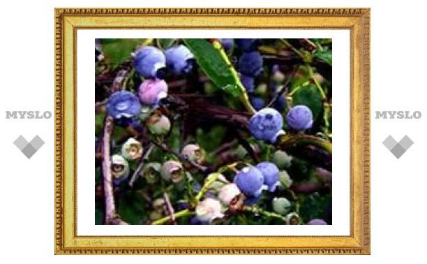 Лесные ягоды защищают от рака кишечника