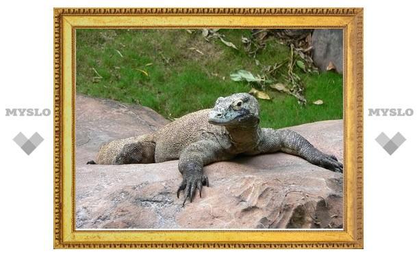 За пределами Индонезии впервые родился комодский дракон
