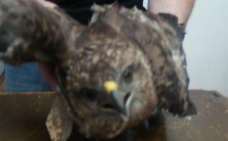 В тульский приют «Любимец» привезли раненого сокола