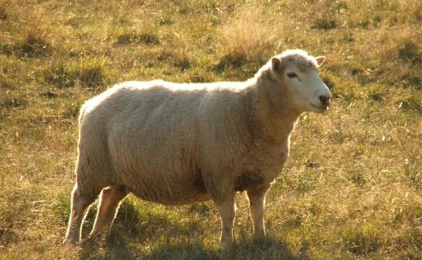 Житель Кимовского района украл заблудившуюся овцу