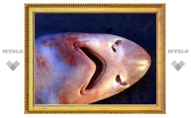 Ученые выяснили принцип устройства обоняния акулы