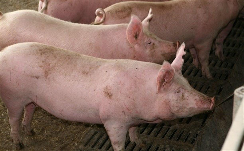 В соседней с Тулой Рязанской областью обнаружена вспышка африканской чумы свиней