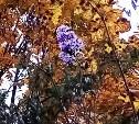 Бабья весна? В Тульской области в октябре расцвела сирень