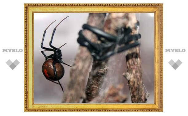 Ленивые самцы пауков выжили из-за неразборчивости самок