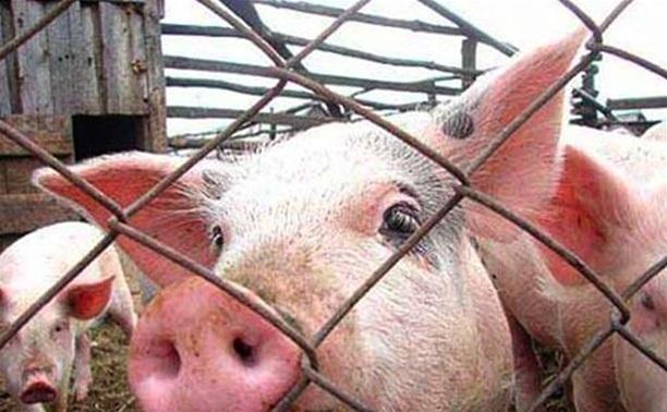 Для ликвидации АЧС в «Лазаревском» сожгли 56 тысяч свиней