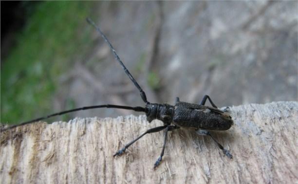 В лесах Плавского района ввели карантин из-за жука