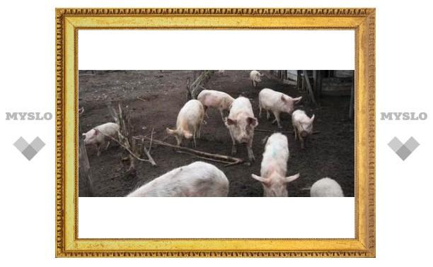 На тульской свиноферме взорвался корм
