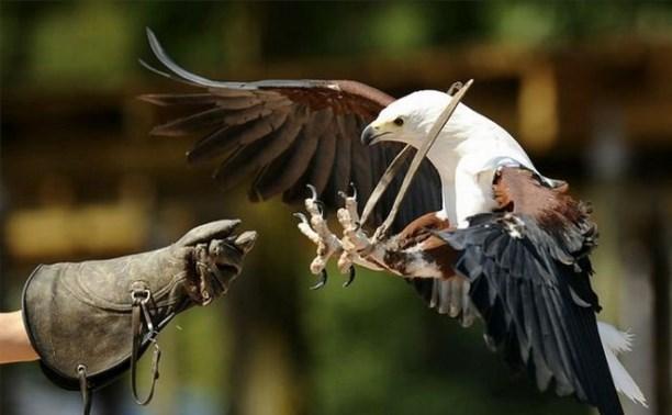 Туляков приглашают на открытие выставки, посвящённой соколиной охоте
