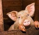 Калужане винят Тульскую область во вспышке африканской чумы свиней