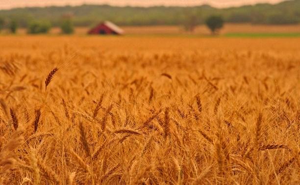 В Тульской области собирают по 37 центнеров зерна с гектара