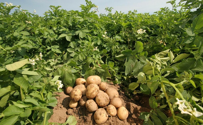 Тульские аграрии смогут увеличить урожай картофеля и сахарной свеклы