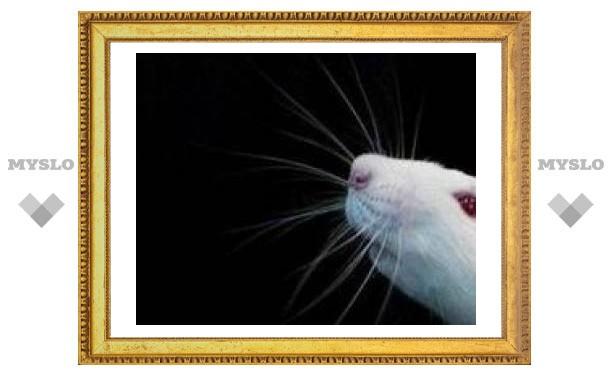 Британские ученые вывели чихающих мышей для борьбы с астмой