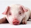 В Тульской области ликвидировали все очаги африканской чумы свиней