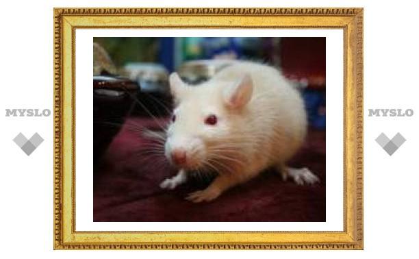 В Туле нашли крысиное царство
