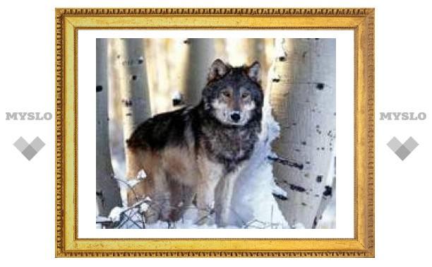 9 декабря: волк летит со смехом звериным