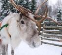 В центре Тулы пройдет «Северное шоу» с оленями