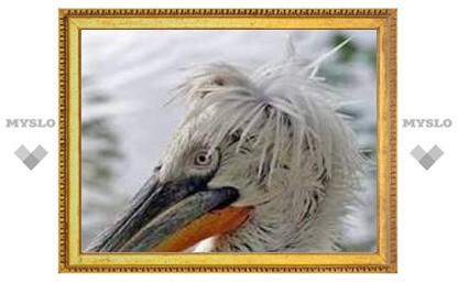 В Ульяновской области обнаружен гигантский кудрявый пеликан