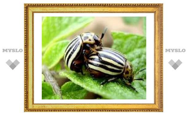 В Туле начинается нашествие колорадских жуков