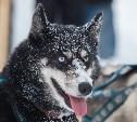 «Большой тур» на Куликовом поле: хаски, лыжи и гонки на собачьих упряжках