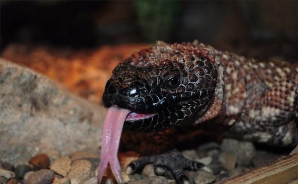 В Тульском экзотариуме родились ядозубы