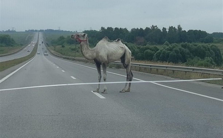 В Тульской области на трассе М-4 бегает верблюд: видео