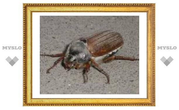 Тулу продолжают атаковать майские жуки
