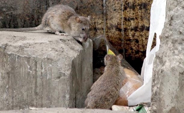 Тулу атаковали крысы