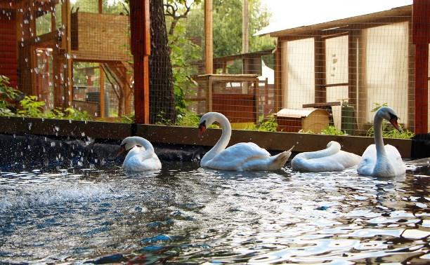 Лебеди в зооуголке тульского Центрального парка переехали в новый вольер