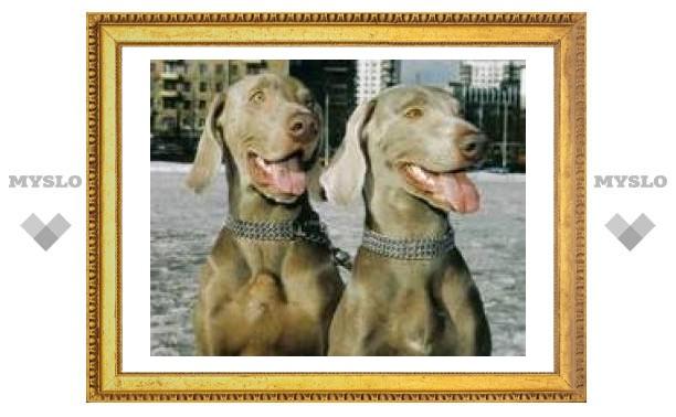 Собаки в Туле болеют от любви