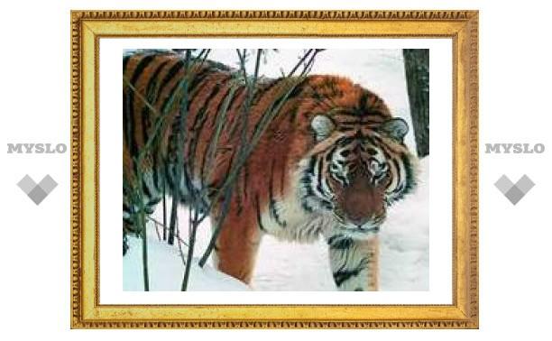 Амурский тигр перестал находиться на грани вымирания