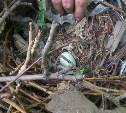 В Туле при ликвидации аварийных деревьев были уничтожены гнёзда с птенцами грачей