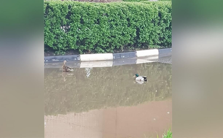 В Туле посреди улицы в большой луже плавали утки
