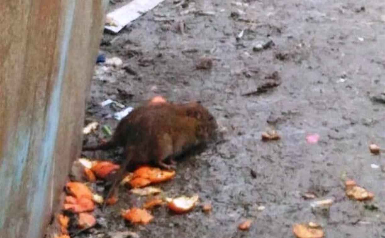 Туляков атаковали десятки жирных крыс: видео