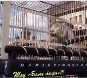 Тульских зоозащитников возмутил цирковой тигр на площади Ленина