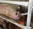 В Ясногорском районе зафиксировали африканскую чуму свиней