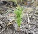 В Тульской области в Веневском районе высажено 24 тысячи сосен