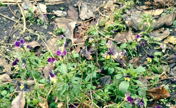 За шесть дней до Нового года в Тульской области распускаются цветы и растут грибы