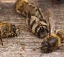 Российские пчеловоды жалуются на массовую гибель медоносных насекомых