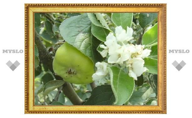 В Туле зацвели яблони