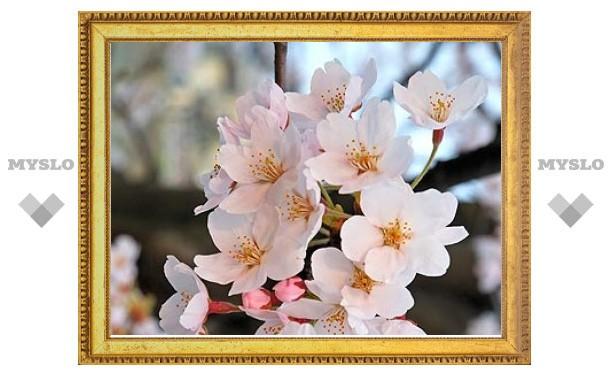 Метеорологи Японии отказались от прогноза цветения сакуры