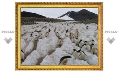Историю Антарктиды изучат по останкам пингвинов