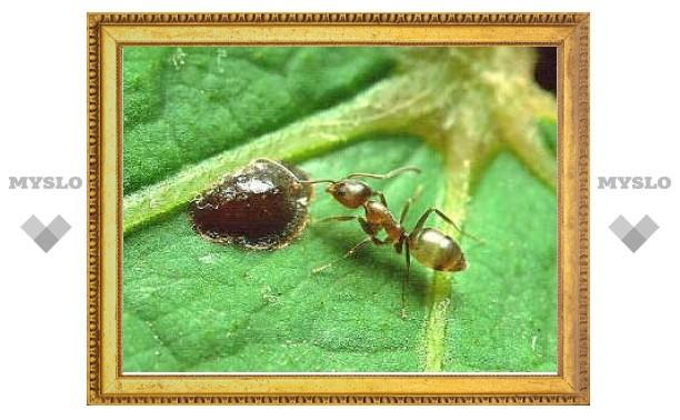 Новая сверхколония муравьев разместилась на двух континентах