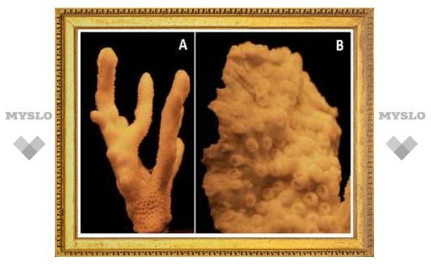 Скелеты кораллов оказались защитой от ультрафиолета