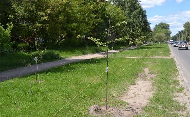 В Туле высадили более 500 лип