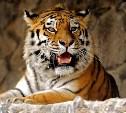 Тульский тигр Цезарь умер в зоопарке Белгорода