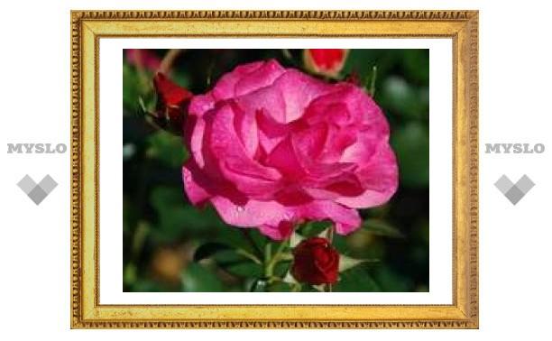 Под Тулой будут выращивать голландские розы