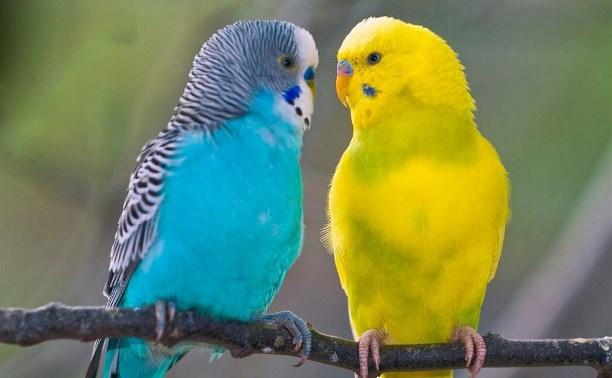 В Туле вор вынес из квартиры приятеля попугаев