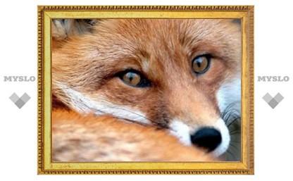 В Туле будут проходить турниры по охоте на лис?