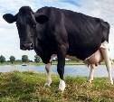 Тульских фермеров приглашают принять участие в программе «Коровы в обмен на молоко»