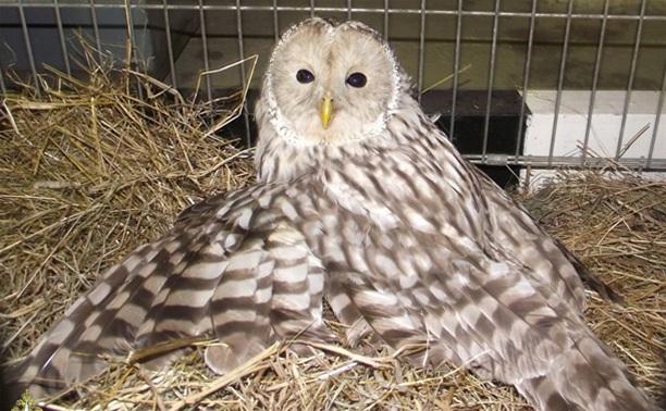 Раненую сову из Твери приютит житель Тульской области